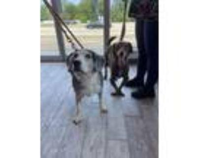 Adopt Papa a Beagle, Mixed Breed