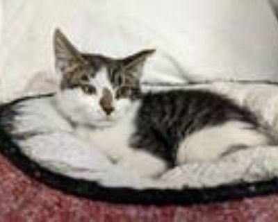 Adopt a Brown Tabby Domestic Shorthair / Mixed (short coat) cat in Fremont
