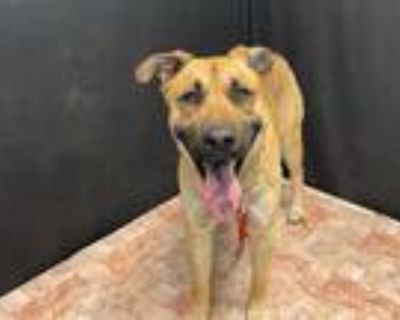 Adopt LIAM a Brown/Chocolate German Shepherd Dog / Mixed dog in Lancaster