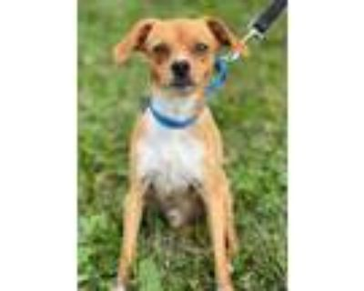 Adopt Luca a Brown/Chocolate Beagle / Feist / Mixed dog in Chester Springs