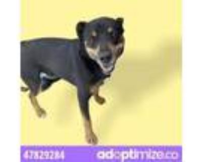 Adopt 47829284 a White Rottweiler / Mixed dog in El Paso, TX (31524102)