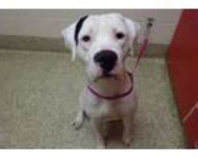 Adopt BREWSTER a Pit Bull Terrier
