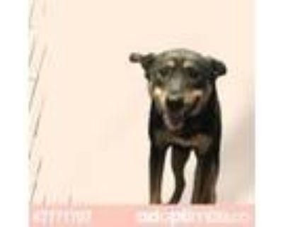 Adopt 47771707 a Black German Shepherd Dog / Mixed dog in El Paso, TX (31437328)