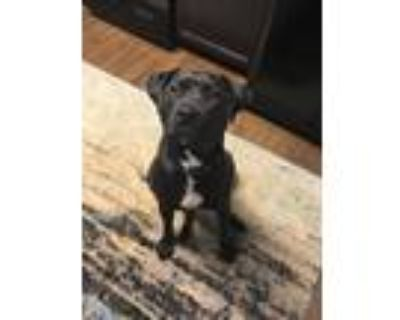 Adopt Knox a Black - with White American Pit Bull Terrier / Labrador Retriever /
