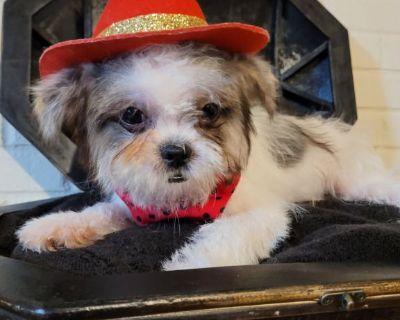 Girl Shih Tzu Puppy