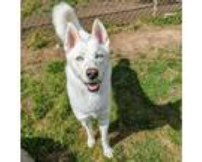 Adopt Snow White a White - with Tan, Yellow or Fawn Husky / Mixed dog in Newark