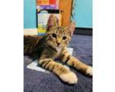 Adopt Shaggy~s21/22-0070b a Brown or Chocolate Domestic Mediumhair / Domestic
