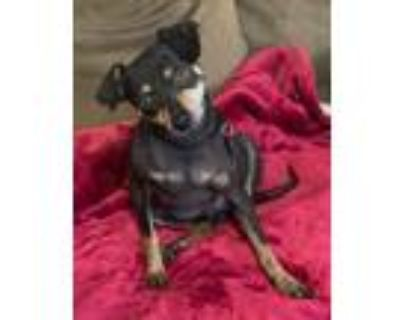 Adopt Michi a Black - with Brown, Red, Golden, Orange or Chestnut Miniature