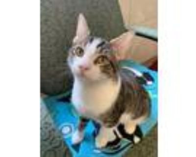 Adopt Hulk a Orange or Red Domestic Shorthair / Domestic Shorthair / Mixed cat