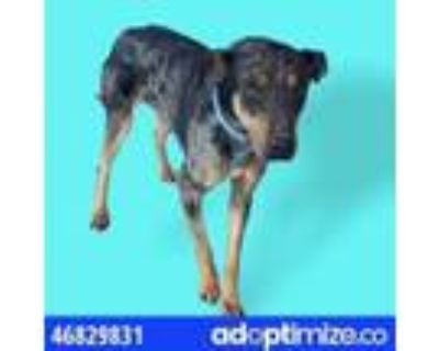 Adopt 46829831 a Black Catahoula Leopard Dog / Mixed dog in El Paso