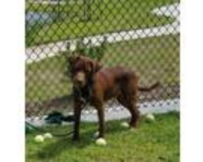 Adopt Hersey a Labrador Retriever / Mixed dog in LAFAYETTE, LA (32010256)