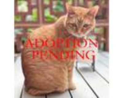 Adopt Flan a Orange or Red Tabby Domestic Shorthair (short coat) cat in