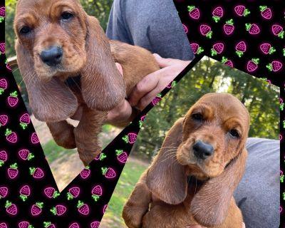 Basset Hound Puppies South Carolina