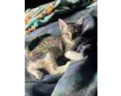 Adopt Linguine a Brown Tabby Domestic Shorthair / Mixed (short coat) cat in
