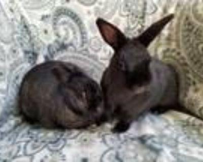 Adopt Sasha and Not Sasha a Bunny Rabbit
