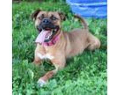 Adopt Callie a Boxer