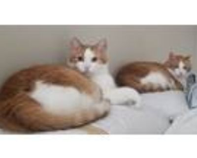 Adopt Louie & Indy a Orange or Red Tabby American Shorthair / Mixed (medium