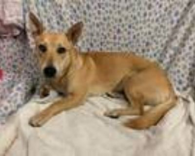 Adopt SATURN a Shiba Inu, Cardigan Welsh Corgi