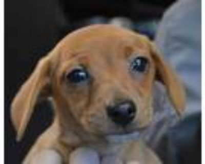 Adopt DIZZY a Dachshund, Mixed Breed