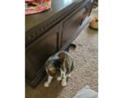 Adopt Luna a Calico or Dilute Calico American Shorthair / Mixed (short coat) cat