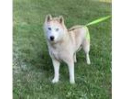 Adopt Lucy a Siberian Husky / Mixed dog in Carol Stream, IL (32171354)
