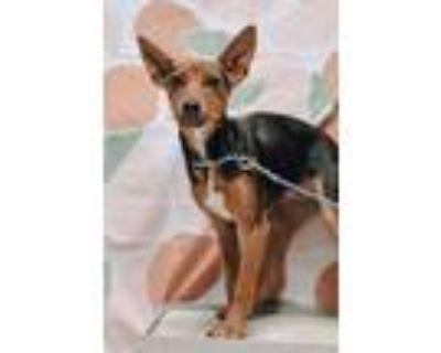 Adopt Ivy a Beagle, Labrador Retriever