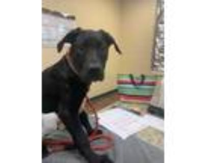 Adopt Brooke a Black Retriever (Unknown Type) / Great Dane / Mixed dog in