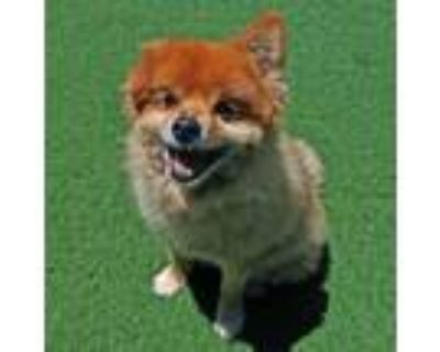 Adopt Benny a Pomeranian