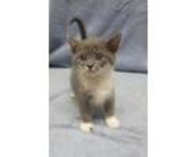 Arwen, Domestic Shorthair For Adoption In New Albany, Indiana