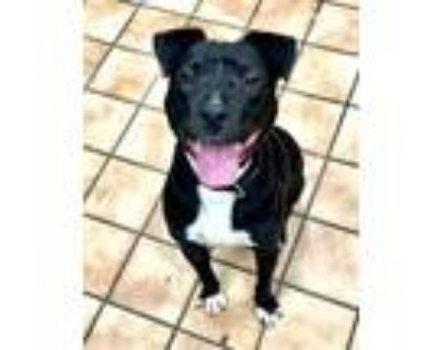 Adopt TATER TOT a Border Collie, Mixed Breed