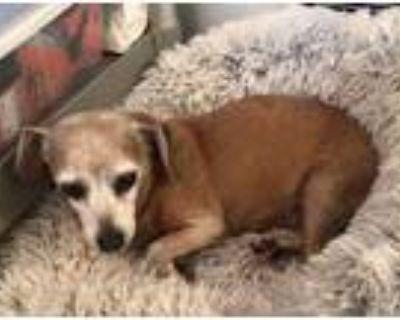 Adopt Angel a Tan/Yellow/Fawn Dachshund / Mixed dog in Atlanta, GA (31538608)