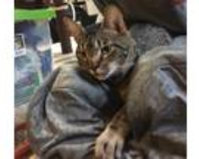 Adopt Pepper Jack a Gray or Blue Domestic Shorthair / Mixed cat in Milton