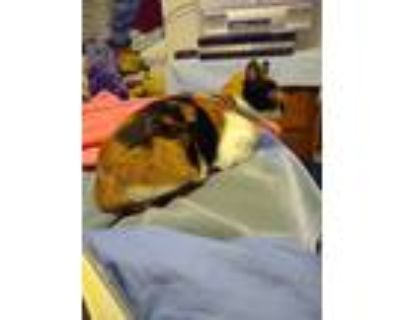 Adopt Kisa a Calico or Dilute Calico Calico / Mixed (short coat) cat in