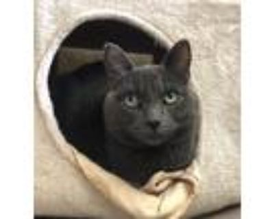 Adopt Gypsy a Gray or Blue Russian Blue / Mixed (short coat) cat in Los Angeles