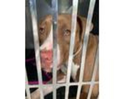 Adopt ASPEN a Brown/Chocolate - with White American Pit Bull Terrier / Mixed dog