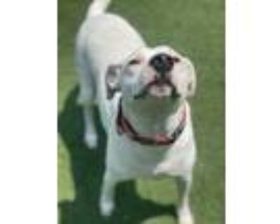 Adopt Walter (Cotton) a White American Pit Bull Terrier / Mixed dog in Quincy