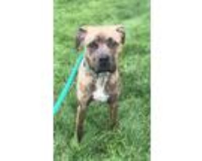 Adopt TRIPPY a Brindle - with White Boxer / Labrador Retriever / Mixed dog in