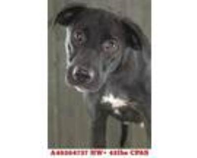 Adopt Chickes a Black Labrador Retriever / Mixed dog in Shreveport