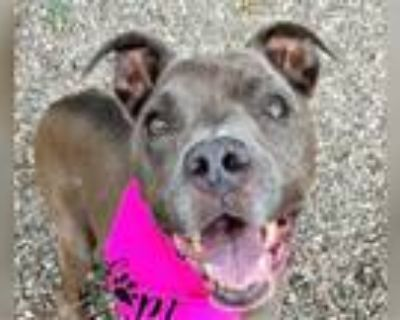 Adopt MOMMA a Pit Bull Terrier, Mixed Breed