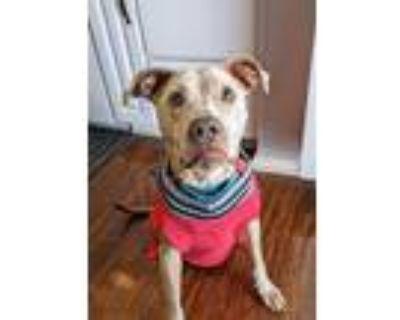 Adopt Talia a Pit Bull Terrier