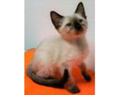 Adopt Lexi a Brown or Chocolate Siamese / Domestic Shorthair / Mixed cat in