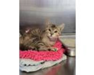 Adopt *GRACE a Brown Tabby Domestic Shorthair / Mixed (short coat) cat in
