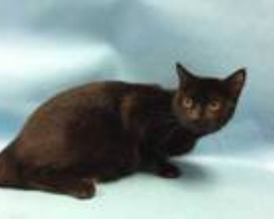 Adopt Lugia a All Black Domestic Shorthair / Mixed cat in Woodbury