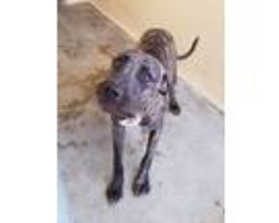 Adopt 21-321 a Pit Bull Terrier