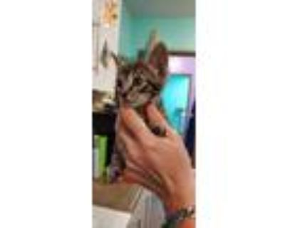 Adopt Filip a All Black Domestic Shorthair / Domestic Shorthair / Mixed cat in