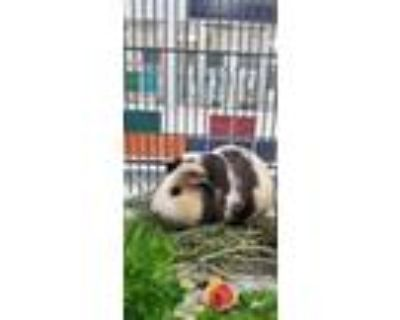 Adopt REESES a Guinea Pig