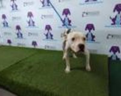 Adopt DRAKO a Pit Bull Terrier, Mixed Breed