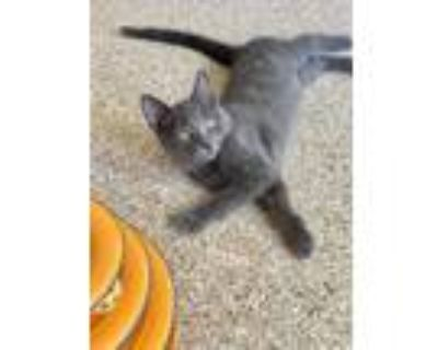 Adopt Purring Geo your one and only kitty a Domestic Short Hair, Silver