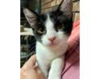Adopt Sylvester Kitten a White (Mostly) American Shorthair (medium coat) cat in