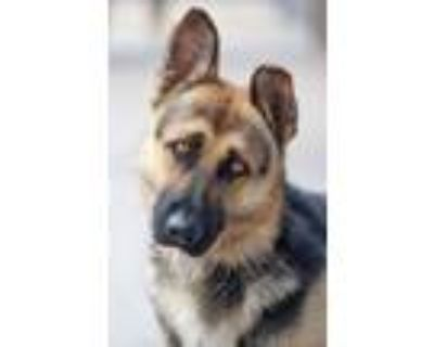Adopt Gage von Gallin a Black - with Tan, Yellow or Fawn German Shepherd Dog /